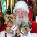 Santa and Yorkies