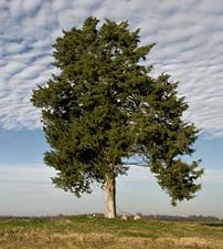 The Cross Tree