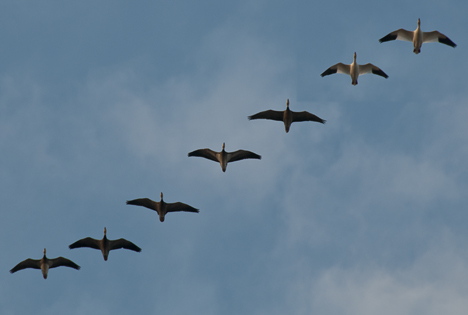 Geese flying to their roosting areas