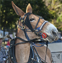 Mule in New Orleans French Quarter