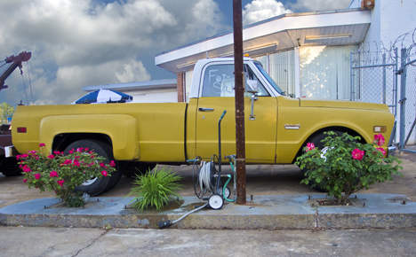 Old chevy truck and roses