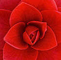 Close up of camellia
