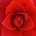 Close up of camellia