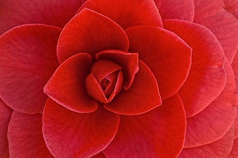 Closeup of camellia bloom