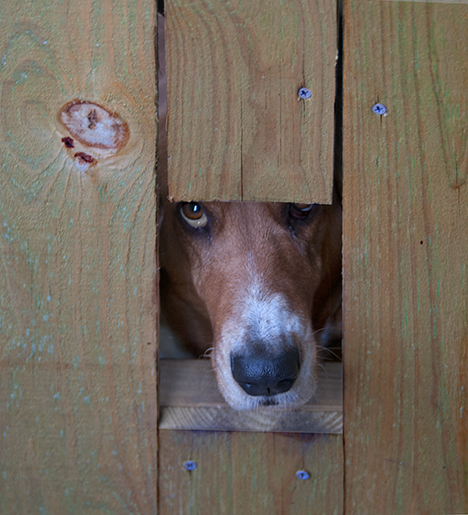 Bassett Hound looks out a hole in a gate