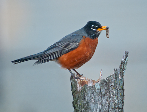 Robin with worm