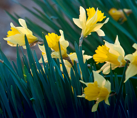 Early spring volunteer jonquils
