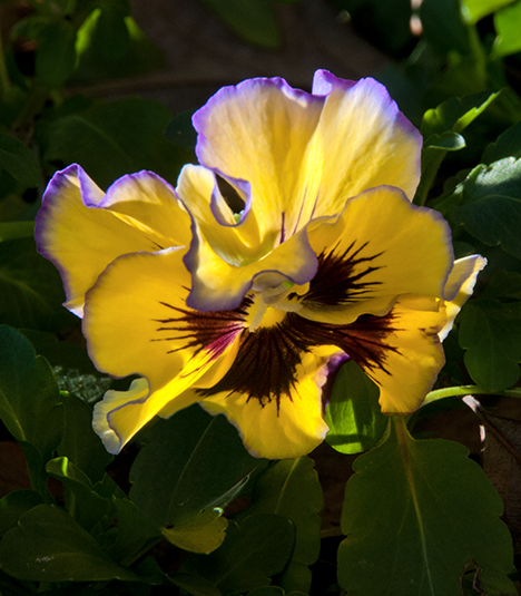 yellow and black pansy