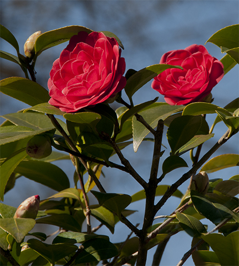 Camellia blooms against the sky