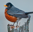 robin on stump