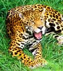 jaguar at little rock zoo