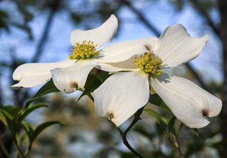 dogwood blooms in Pine Bluff Arkansas