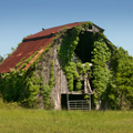 Ivy covered barn