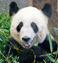 panda at memphis zoo