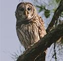 short eared owl in tree