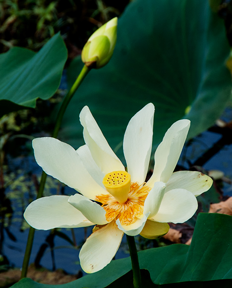 Water lily bloom and bud