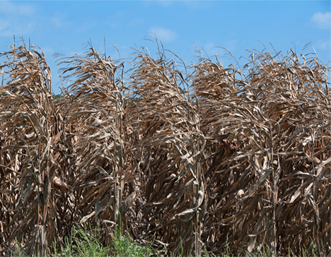 ripe corn in stiff breeze
