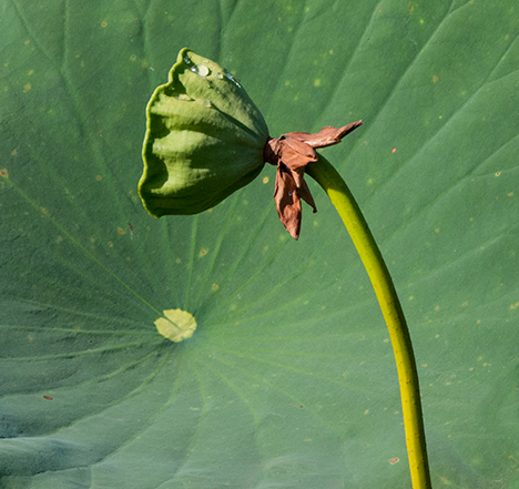 Enlarged water lily seed pod