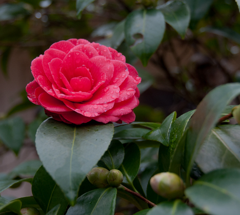 Red camellia bloom with rain drops.