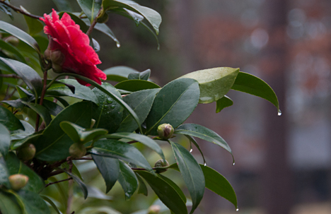 Camellia bush with red bloom and rain drops