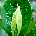 Wet jasmine leaves