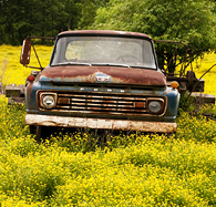 buttercups surrounding old rusty Ford truck