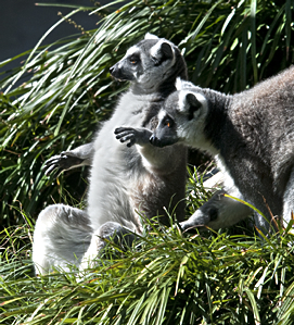 Lemurs in the Little Rock Zoo