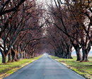 Pecan tree tunnel