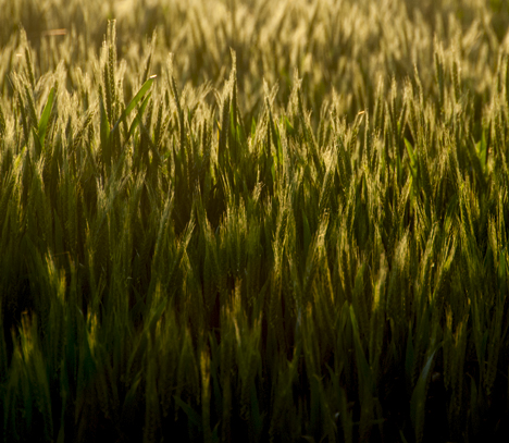 The sun is nearly gone. As its swansong for the day, it back lights this winter wheat on Grider Field - Ladd Road near Pine Bluff AR.