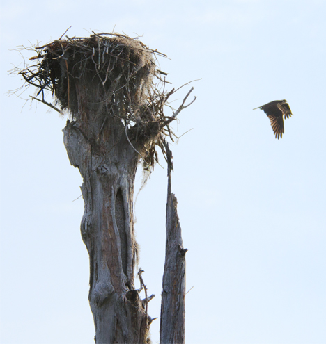 Osprey in flight from nest