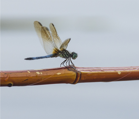 No southern pond bank fishing trip is complete without a dragonfly landing on your pole. This one showed up right on schedule.