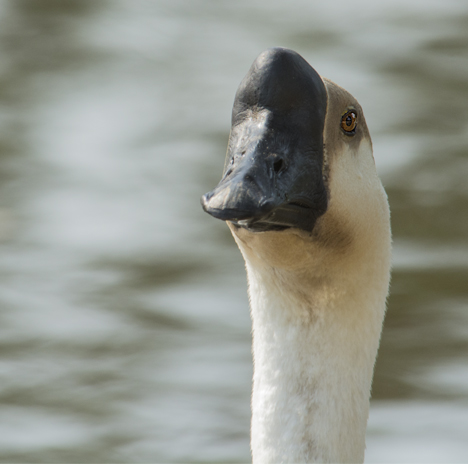 Closeup of Chinese Swan Goose