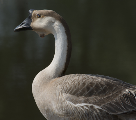 Chinese swan goose at Martin Luther KIng park in Pine Bluff, Arkansas