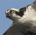 Click on the osprey for six more osprey pictures.
