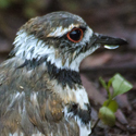 rain soaked killdeer