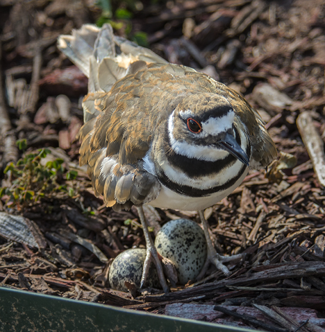 Mother Killdeer on nest