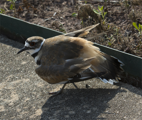 Killdeer in wounded routine on sidewalk
