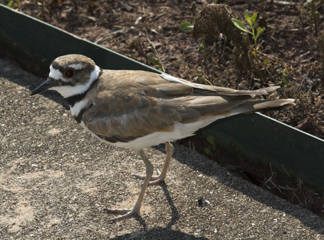 Killdeer on sidewalk
