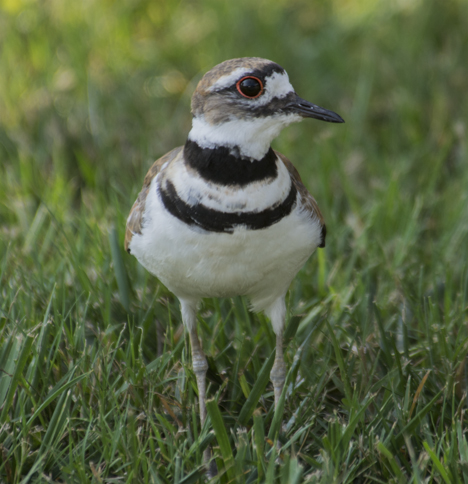Killdeer in grass