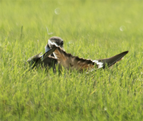 Killdeer on his back