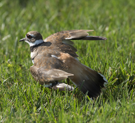 Killdeer doing broken wing act
