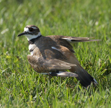 Killdeer doing wounded act