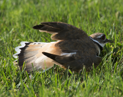 KIlldeer crawling