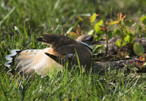 Killdeer crawling to flower bed