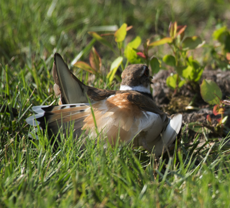 Killdeer faking broken wing