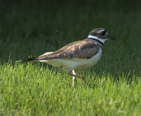 Male Killdeer drawing attention away from the nest.