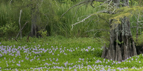 invasive water hyacinth plants