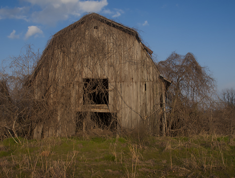 Old vine covered Delta barn