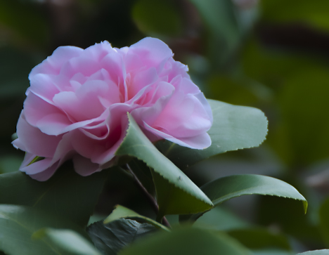 Pink camellia.