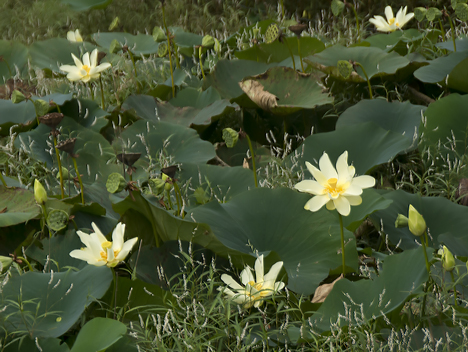 Lotus colony with blooms and seed pods